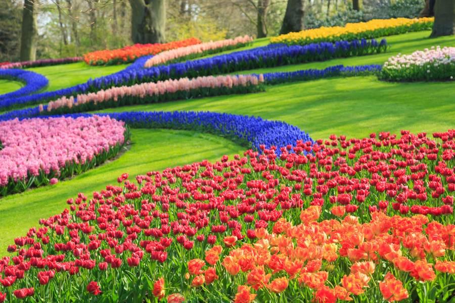 Niderlandy. Kwiatowe dywany w parku Keukenhof – zobacz je wiosną!