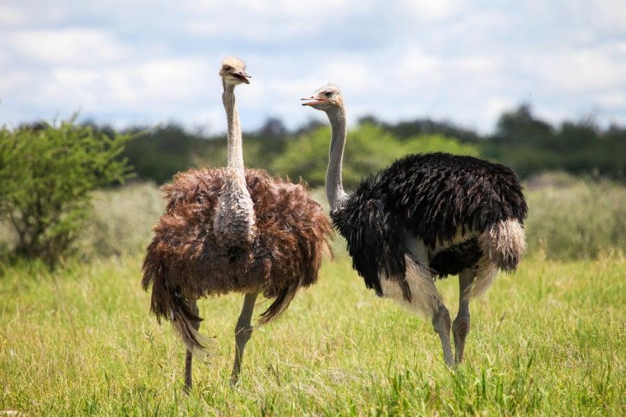 Struś – największy ptak świata. Czy chowa głowę w piasek?