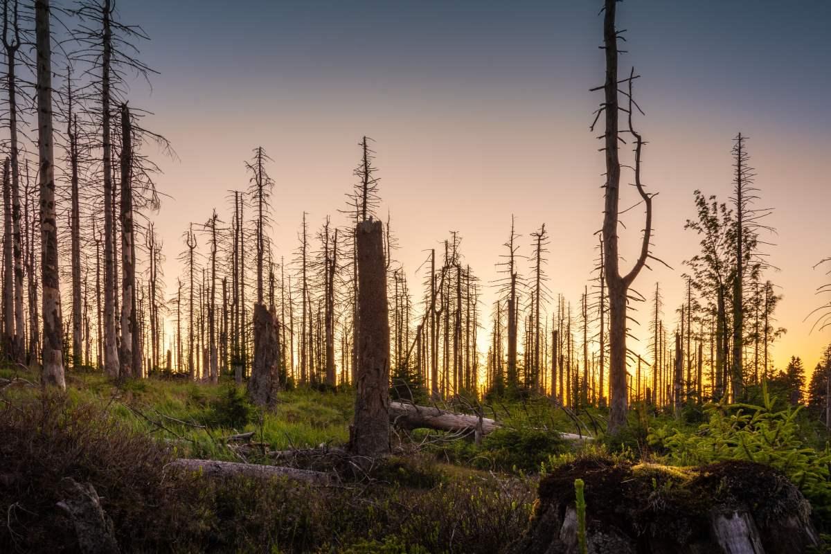 Uschnięty las. Przyczyną umierania drzew są kwaśne deszcze